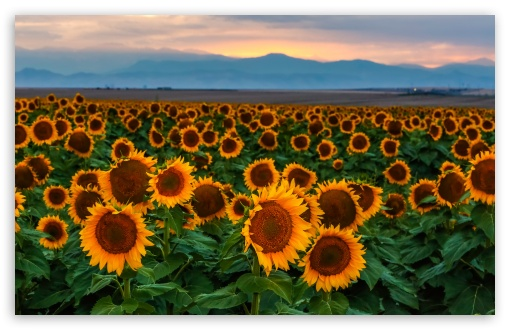 Sunflower Field, Sunset, Colorado ❤ 4K UHD Wallpaper for Wide 16:10 5:3 Widescreen WHXGA WQXGA WUXGA WXGA WGA ; UltraWide 21:9 ; 4K UHD 16:9 Ultra High Definition 2160p 1440p 1080p 900p 720p ; Standard 4:3 5:4 3:2 Fullscreen UXGA XGA SVGA QSXGA SXGA DVGA HVGA HQVGA ( Apple PowerBook G4 iPhone 4 3G 3GS iPod Touch ) ; Smartphone 16:9 3:2 5:3 2160p 1440p 1080p 900p 720p DVGA HVGA HQVGA ( Apple PowerBook G4 iPhone 4 3G 3GS iPod Touch ) WGA ; Tablet 1:1 ; iPad 1/2/Mini ; Mobile 4:3 5:3 3:2 16:9 5:4 - UXGA XGA SVGA WGA DVGA HVGA HQVGA ( Apple PowerBook G4 iPhone 4 3G 3GS iPod Touch ) 2160p 1440p 1080p 900p 720p QSXGA SXGA ; Dual 16:10 5:3 16:9 4:3 5:4 3:2 WHXGA WQXGA WUXGA WXGA WGA 2160p 1440p 1080p 900p 720p UXGA XGA SVGA QSXGA SXGA DVGA HVGA HQVGA ( Apple PowerBook G4 iPhone 4 3G 3GS iPod Touch ) ;