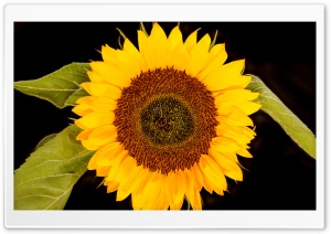 Sunflower Head, Black Background HD Wide Wallpaper for Widescreen