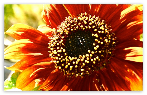 Sunflower in Sunlight HD wallpaper for Wide 16:10 5:3 Widescreen WHXGA WQXGA WUXGA WXGA WGA ; HD 16:9 High Definition WQHD QWXGA 1080p 900p 720p QHD nHD ; UHD 16:9 WQHD QWXGA 1080p 900p 720p QHD nHD ; Standard 4:3 5:4 3:2 Fullscreen UXGA XGA SVGA QSXGA SXGA DVGA HVGA HQVGA devices ( Apple PowerBook G4 iPhone 4 3G 3GS iPod Touch ) ; Tablet 1:1 ; iPad 1/2/Mini ; Mobile 4:3 5:3 3:2 16:9 5:4 - UXGA XGA SVGA WGA DVGA HVGA HQVGA devices ( Apple PowerBook G4 iPhone 4 3G 3GS iPod Touch ) WQHD QWXGA 1080p 900p 720p QHD nHD QSXGA SXGA ;
