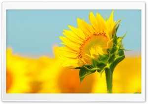 Sunflower In The Summer HD Wide Wallpaper for Widescreen