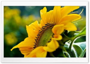 Sunflower Macro HD Wide Wallpaper for Widescreen