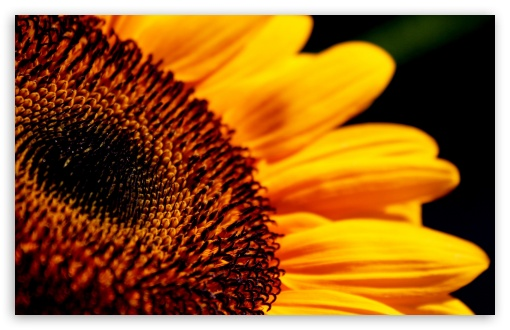 Sunflower Macro HD wallpaper for Wide 16:10 5:3 Widescreen WHXGA WQXGA WUXGA WXGA WGA ; HD 16:9 High Definition WQHD QWXGA 1080p 900p 720p QHD nHD ; Standard 3:2 Fullscreen DVGA HVGA HQVGA devices ( Apple PowerBook G4 iPhone 4 3G 3GS iPod Touch ) ; Mobile 5:3 3:2 16:9 - WGA DVGA HVGA HQVGA devices ( Apple PowerBook G4 iPhone 4 3G 3GS iPod Touch ) WQHD QWXGA 1080p 900p 720p QHD nHD ;