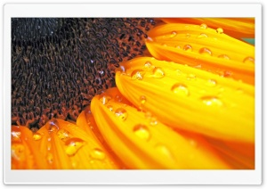 Sunflower Petals HD Wide Wallpaper for Widescreen