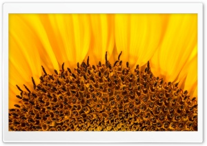 Sunflower Stamens and Seeds HD Wide Wallpaper for Widescreen
