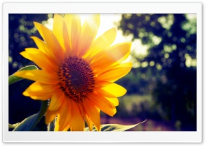 Sunflower Sunshine HD Wide Wallpaper for 4K UHD Widescreen desktop & smartphone