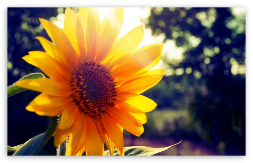 Sunflower Sunshine HD wallpaper for Wide 16:10 5:3 Widescreen WHXGA WQXGA WUXGA WXGA WGA ; HD 16:9 High Definition WQHD QWXGA 1080p 900p 720p QHD nHD ; Standard 4:3 5:4 3:2 Fullscreen UXGA XGA SVGA QSXGA SXGA DVGA HVGA HQVGA devices ( Apple PowerBook G4 iPhone 4 3G 3GS iPod Touch ) ; iPad 1/2/Mini ; Mobile 4:3 5:3 3:2 16:9 5:4 - UXGA XGA SVGA WGA DVGA HVGA HQVGA devices ( Apple PowerBook G4 iPhone 4 3G 3GS iPod Touch ) WQHD QWXGA 1080p 900p 720p QHD nHD QSXGA SXGA ;