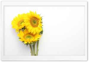 Sunflowers 1 HD Wide Wallpaper for Widescreen
