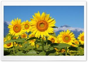 Sunflowers HD Wide Wallpaper for 4K UHD Widescreen desktop & smartphone