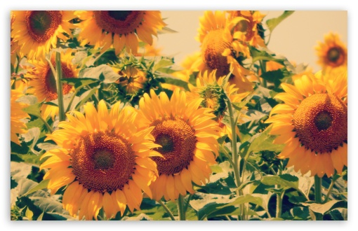 Sunflowers ❤ 4K UHD Wallpaper for Wide 16:10 5:3 Widescreen WHXGA WQXGA WUXGA WXGA WGA ; 4K UHD 16:9 Ultra High Definition 2160p 1440p 1080p 900p 720p ; Standard 4:3 5:4 3:2 Fullscreen UXGA XGA SVGA QSXGA SXGA DVGA HVGA HQVGA ( Apple PowerBook G4 iPhone 4 3G 3GS iPod Touch ) ; Smartphone 5:3 WGA ; Tablet 1:1 ; iPad 1/2/Mini ; Mobile 4:3 5:3 3:2 16:9 5:4 - UXGA XGA SVGA WGA DVGA HVGA HQVGA ( Apple PowerBook G4 iPhone 4 3G 3GS iPod Touch ) 2160p 1440p 1080p 900p 720p QSXGA SXGA ;