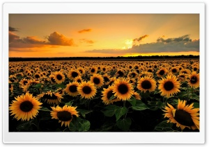 Sunflowers HD Wide Wallpaper for 4K UHD Widescreen desktop & smartphone