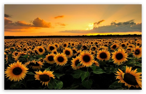 Laptop Wallpaper Sunflowers