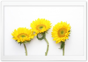 Sunflowers 3 HD Wide Wallpaper for Widescreen