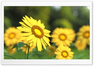Sunflowers 3D HD Wide Wallpaper for Widescreen