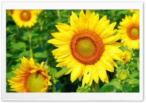 Sunflowers Ultra HD Wallpaper for 4K UHD Widescreen desktop, tablet & smartphone