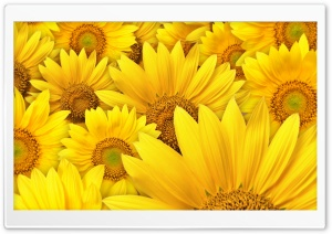 Sunflowers HD Wide Wallpaper for Widescreen