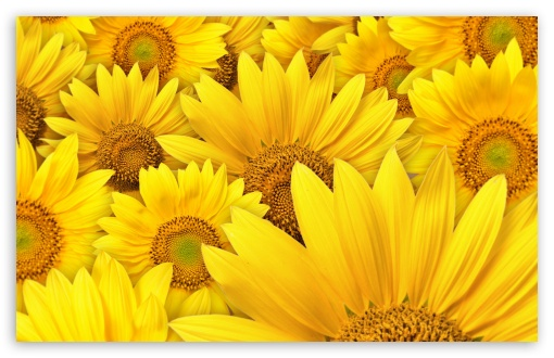 Sunflowers ❤ 4K UHD Wallpaper for Wide 16:10 5:3 Widescreen WHXGA WQXGA WUXGA WXGA WGA ; 4K UHD 16:9 Ultra High Definition 2160p 1440p 1080p 900p 720p ; Standard 4:3 5:4 3:2 Fullscreen UXGA XGA SVGA QSXGA SXGA DVGA HVGA HQVGA ( Apple PowerBook G4 iPhone 4 3G 3GS iPod Touch ) ; Tablet 1:1 ; iPad 1/2/Mini ; Mobile 4:3 5:3 3:2 16:9 5:4 - UXGA XGA SVGA WGA DVGA HVGA HQVGA ( Apple PowerBook G4 iPhone 4 3G 3GS iPod Touch ) 2160p 1440p 1080p 900p 720p QSXGA SXGA ; Dual 5:4 QSXGA SXGA ;