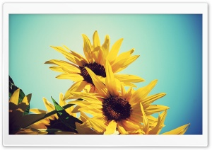Sunflowers Against Blue Sky HD Wide Wallpaper for Widescreen