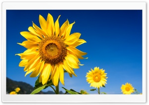 Sunflowers, Blue Sky HD Wide Wallpaper for Widescreen