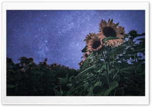 Sunflowers, Bokeh Stars, Evening HD Wide Wallpaper for Widescreen