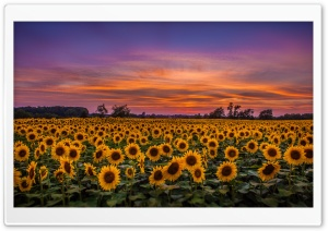 Sunflowers, Field Ultra HD Wallpaper for 4K UHD Widescreen desktop, tablet & smartphone