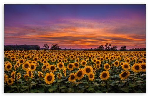 Sunflowers, Field ❤ 4K UHD Wallpaper for Wide 16:10 5:3 Widescreen WHXGA WQXGA WUXGA WXGA WGA ; 4K UHD 16:9 Ultra High Definition 2160p 1440p 1080p 900p 720p ; UHD 16:9 2160p 1440p 1080p 900p 720p ; Standard 4:3 5:4 3:2 Fullscreen UXGA XGA SVGA QSXGA SXGA DVGA HVGA HQVGA ( Apple PowerBook G4 iPhone 4 3G 3GS iPod Touch ) ; Smartphone 5:3 WGA ; Tablet 1:1 ; iPad 1/2/Mini ; Mobile 4:3 5:3 3:2 16:9 5:4 - UXGA XGA SVGA WGA DVGA HVGA HQVGA ( Apple PowerBook G4 iPhone 4 3G 3GS iPod Touch ) 2160p 1440p 1080p 900p 720p QSXGA SXGA ; Dual 16:10 5:3 16:9 4:3 5:4 WHXGA WQXGA WUXGA WXGA WGA 2160p 1440p 1080p 900p 720p UXGA XGA SVGA QSXGA SXGA ;