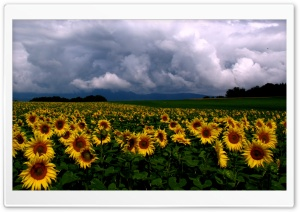 Sunflowers Field HD Wide Wallpaper for Widescreen