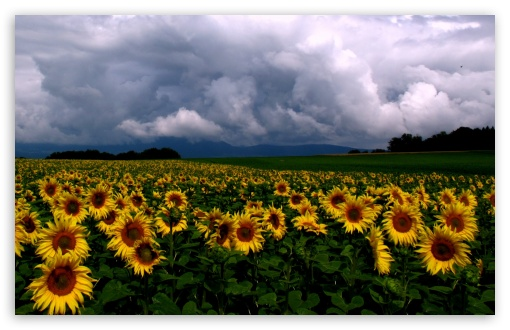 Sunflowers Field HD wallpaper for Wide 16:10 5:3 Widescreen WHXGA WQXGA WUXGA WXGA WGA ; HD 16:9 High Definition WQHD QWXGA 1080p 900p 720p QHD nHD ; Standard 4:3 5:4 3:2 Fullscreen UXGA XGA SVGA QSXGA SXGA DVGA HVGA HQVGA devices ( Apple PowerBook G4 iPhone 4 3G 3GS iPod Touch ) ; Tablet 1:1 ; iPad 1/2/Mini ; Mobile 4:3 5:3 3:2 16:9 5:4 - UXGA XGA SVGA WGA DVGA HVGA HQVGA devices ( Apple PowerBook G4 iPhone 4 3G 3GS iPod Touch ) WQHD QWXGA 1080p 900p 720p QHD nHD QSXGA SXGA ; Dual 16:10 5:3 16:9 4:3 5:4 WHXGA WQXGA WUXGA WXGA WGA WQHD QWXGA 1080p 900p 720p QHD nHD UXGA XGA SVGA QSXGA SXGA ;