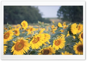Sunflowers Field HD Wide Wallpaper for 4K UHD Widescreen desktop & smartphone