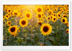 Sunflowers Field, Summer HD Wide Wallpaper for Widescreen