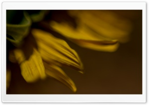 Sunflowers Macro HD Wide Wallpaper for Widescreen