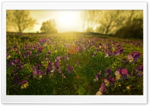 Sunlight Through Pansies HD Wide Wallpaper for Widescreen