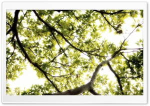 Sunlight Thru Large Tree HD Wide Wallpaper for Widescreen