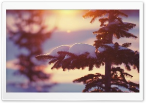 Sunlighted Fir Tree, Winter HD Wide Wallpaper for 4K UHD Widescreen desktop & smartphone