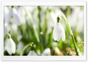 Sunlighted Snowdrop HD Wide Wallpaper for Widescreen
