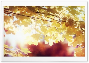 Sunlighted Yellow Maple Leaves HD Wide Wallpaper for 4K UHD Widescreen desktop & smartphone
