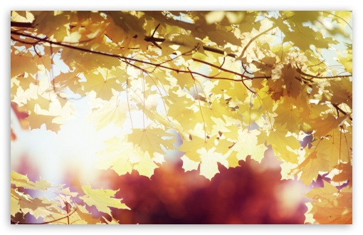 Sunlighted Yellow Maple Leaves ❤ 4K UHD Wallpaper for Wide 16:10 5:3 Widescreen WHXGA WQXGA WUXGA WXGA WGA ; 4K UHD 16:9 Ultra High Definition 2160p 1440p 1080p 900p 720p ; Standard 4:3 5:4 3:2 Fullscreen UXGA XGA SVGA QSXGA SXGA DVGA HVGA HQVGA ( Apple PowerBook G4 iPhone 4 3G 3GS iPod Touch ) ; Tablet 1:1 ; iPad 1/2/Mini ; Mobile 4:3 5:3 3:2 16:9 5:4 - UXGA XGA SVGA WGA DVGA HVGA HQVGA ( Apple PowerBook G4 iPhone 4 3G 3GS iPod Touch ) 2160p 1440p 1080p 900p 720p QSXGA SXGA ; Dual 5:4 QSXGA SXGA ;