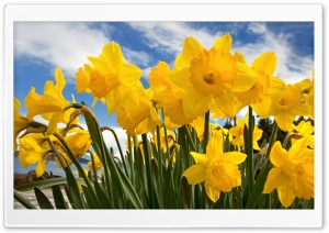 Sunny Daffodils HD Wide Wallpaper for 4K UHD Widescreen desktop & smartphone