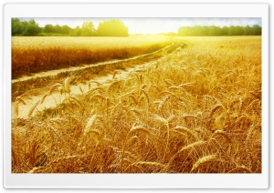 Sunny Field HD Wide Wallpaper for Widescreen
