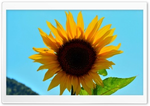 Sunny Flower HD Wide Wallpaper for Widescreen