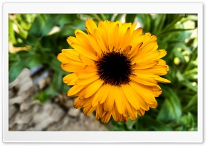 Sunny Sunflower HD Wide Wallpaper for Widescreen