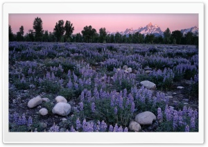 Sunrise Glow On A Field Of Lupine And The Teton Range Wyoming HD Wide Wallpaper for 4K UHD Widescreen desktop & smartphone