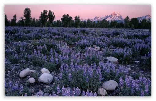 Sunrise Glow On A Field Of Lupine And The Teton Range Wyoming HD wallpaper for Standard 4:3 5:4 Fullscreen UXGA XGA SVGA QSXGA SXGA ; Wide 16:10 5:3 Widescreen WHXGA WQXGA WUXGA WXGA WGA ; HD 16:9 High Definition WQHD QWXGA 1080p 900p 720p QHD nHD ; Other 3:2 DVGA HVGA HQVGA devices ( Apple PowerBook G4 iPhone 4 3G 3GS iPod Touch ) ; Mobile VGA WVGA iPhone iPad PSP Phone - VGA QVGA Smartphone ( PocketPC GPS iPod Zune BlackBerry HTC Samsung LG Nokia Eten Asus ) WVGA WQVGA Smartphone ( HTC Samsung Sony Ericsson LG Vertu MIO ) HVGA Smartphone ( Apple iPhone iPod BlackBerry HTC Samsung Nokia ) Sony PSP Zune HD Zen ; Tablet 2 Android ;