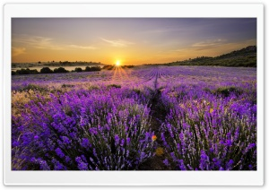 Sunrise In The Field Of Lavenders HD Wide Wallpaper for 4K UHD Widescreen desktop & smartphone
