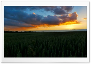 Sunset In The Wheat Field HD Wide Wallpaper for 4K UHD Widescreen desktop & smartphone