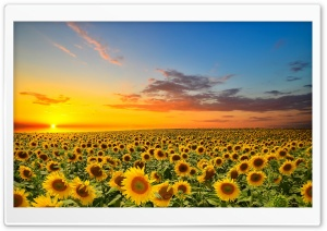 Sunset Over Sunflowers Field HD Wide Wallpaper for 4K UHD Widescreen desktop & smartphone