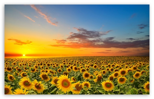 Sunset Over Sunflowers Field ❤ 4K UHD Wallpaper for Wide 16:10 5:3 Widescreen WHXGA WQXGA WUXGA WXGA WGA ; 4K UHD 16:9 Ultra High Definition 2160p 1440p 1080p 900p 720p ; Standard 4:3 5:4 3:2 Fullscreen UXGA XGA SVGA QSXGA SXGA DVGA HVGA HQVGA ( Apple PowerBook G4 iPhone 4 3G 3GS iPod Touch ) ; Smartphone 5:3 WGA ; Tablet 1:1 ; iPad 1/2/Mini ; Mobile 4:3 5:3 3:2 16:9 5:4 - UXGA XGA SVGA WGA DVGA HVGA HQVGA ( Apple PowerBook G4 iPhone 4 3G 3GS iPod Touch ) 2160p 1440p 1080p 900p 720p QSXGA SXGA ; Dual 16:10 5:3 16:9 4:3 5:4 WHXGA WQXGA WUXGA WXGA WGA 2160p 1440p 1080p 900p 720p UXGA XGA SVGA QSXGA SXGA ;