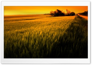 Sunset Over Wheat Field HD Wide Wallpaper for Widescreen