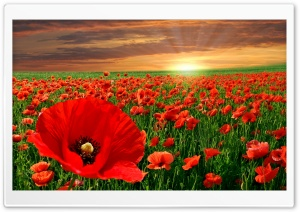 Sunset Poppy Field HD Wide Wallpaper for Widescreen