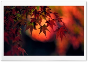 Sunset, Red Japanese Maple Leaves HD Wide Wallpaper for Widescreen