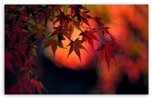 Sunset, Red Japanese Maple Leaves ❤ 4K UHD Wallpaper for Wide 16:10 5:3 Widescreen WHXGA WQXGA WUXGA WXGA WGA ; 4K UHD 16:9 Ultra High Definition 2160p 1440p 1080p 900p 720p ; UHD 16:9 2160p 1440p 1080p 900p 720p ; Standard 4:3 5:4 3:2 Fullscreen UXGA XGA SVGA QSXGA SXGA DVGA HVGA HQVGA ( Apple PowerBook G4 iPhone 4 3G 3GS iPod Touch ) ; Smartphone 5:3 WGA ; Tablet 1:1 ; iPad 1/2/Mini ; Mobile 4:3 5:3 3:2 16:9 5:4 - UXGA XGA SVGA WGA DVGA HVGA HQVGA ( Apple PowerBook G4 iPhone 4 3G 3GS iPod Touch ) 2160p 1440p 1080p 900p 720p QSXGA SXGA ;